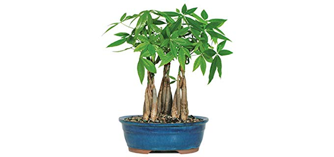 Money Tree Bonzai