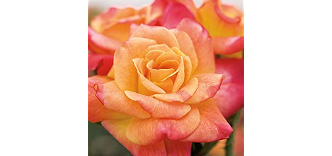 Multi-Colour Rose Bush